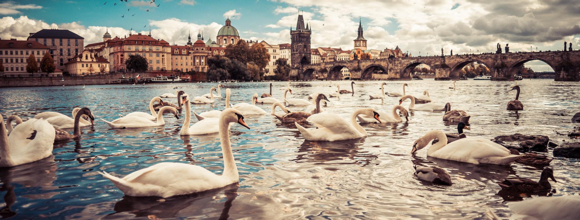white-swans-near-charles-bridge-in-prague-picjumbo-com-001